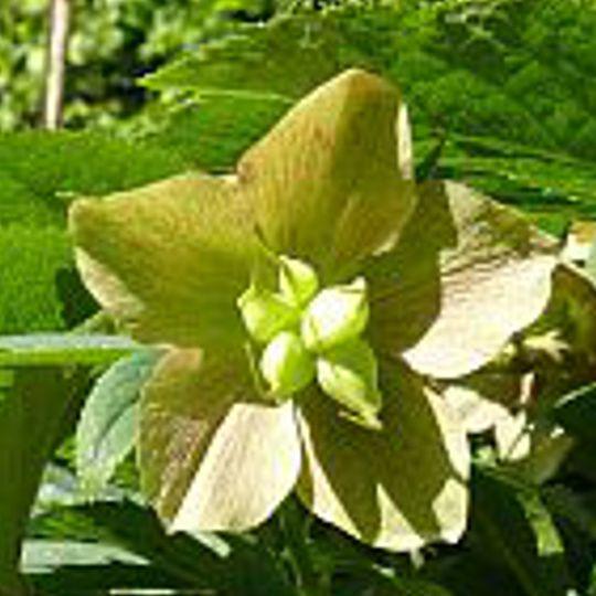 Čemeřice zelená