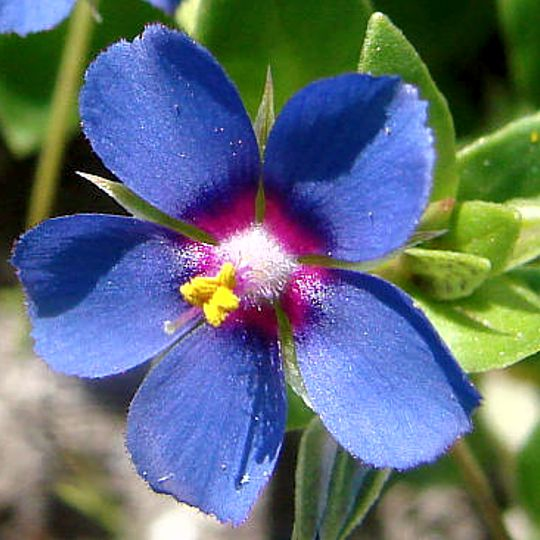 Drchnička modrá